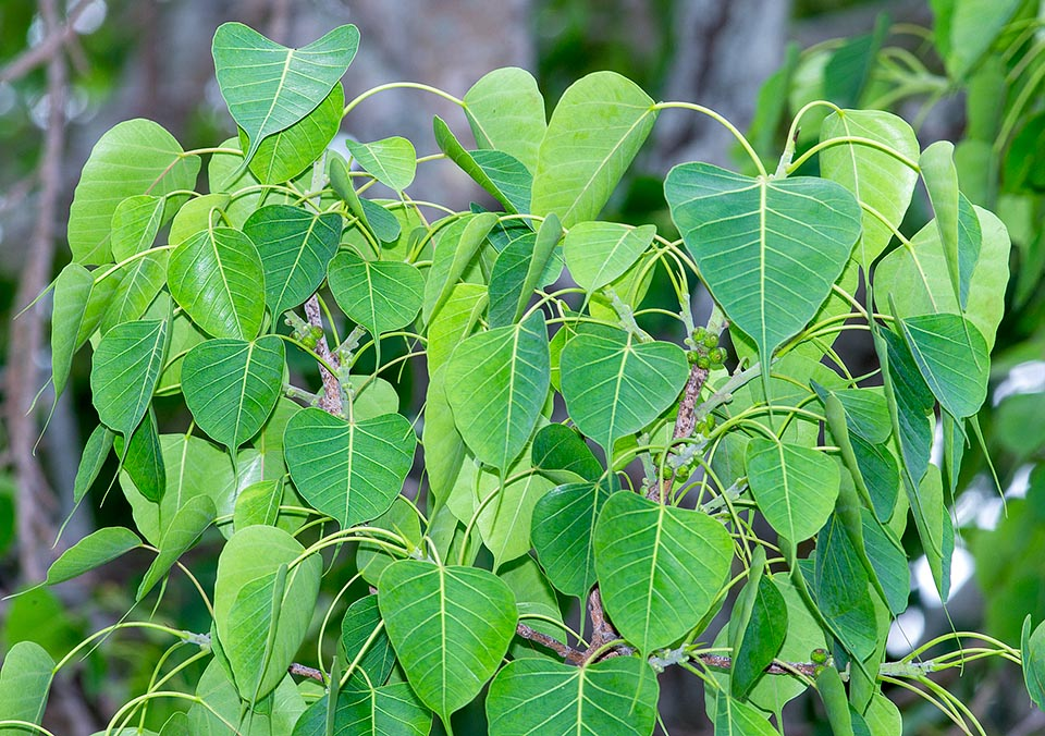 Interesting Facts and Myths about Peepul tree Ficus religiosa