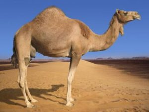 Amazing & interesting facts about Camels