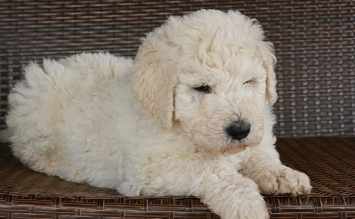 Amazing facts about Komondor Dog