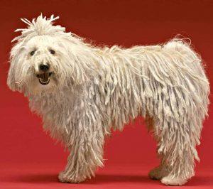 Amazing facts about Komondor Dog