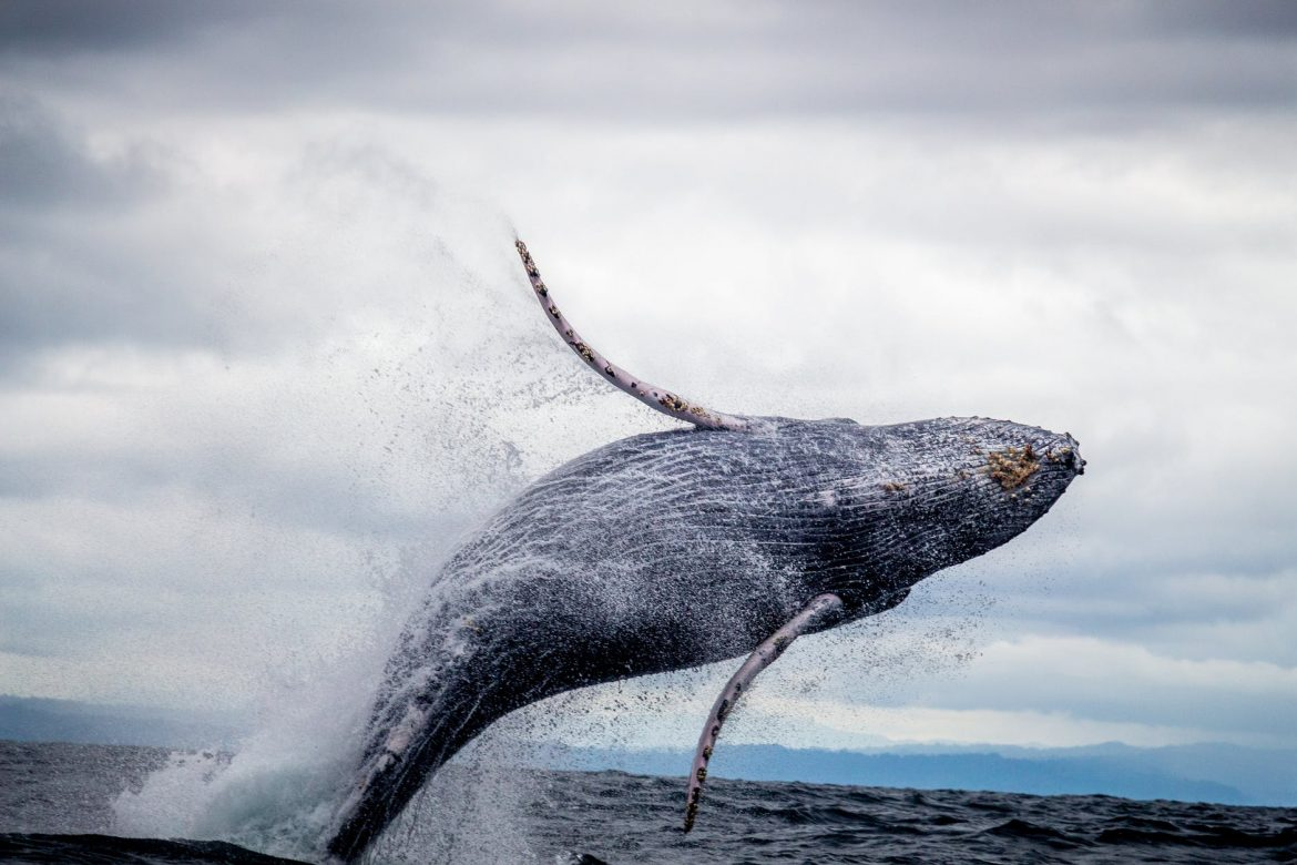 Why Grey Whales Mammals are hunted