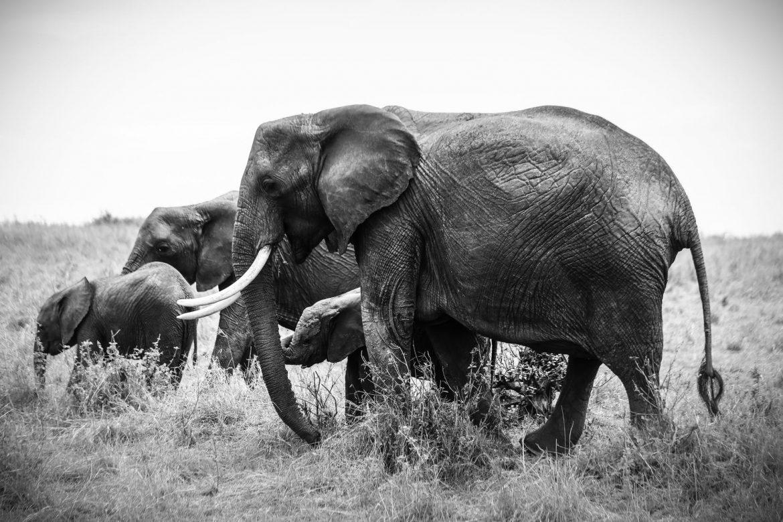 Unfortunate Reason why people hunt Elephants