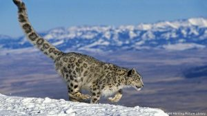 Interesting and Weird Facts about Snow Leopards